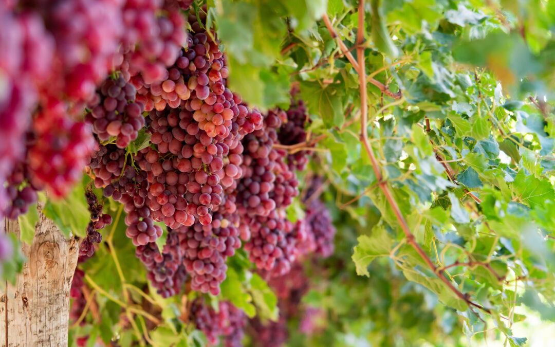 RESULT and EVRYTHNG Appointed Technology Providers to Advance Table Grapes Traceability